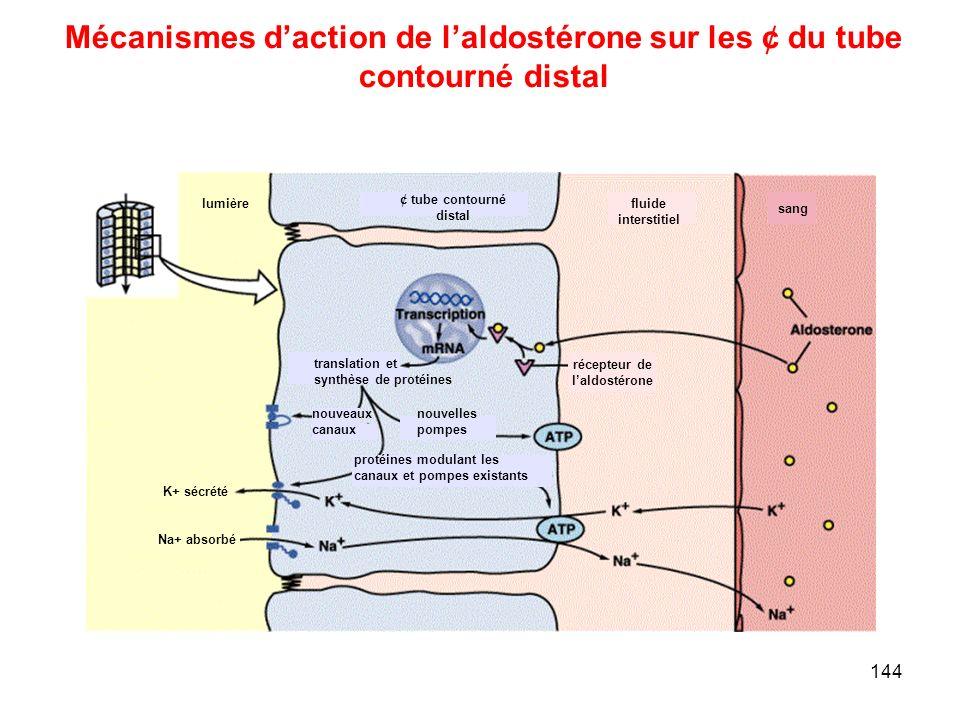 Mécanismes d'action de l'aldostérone sur les ¢ du tube
