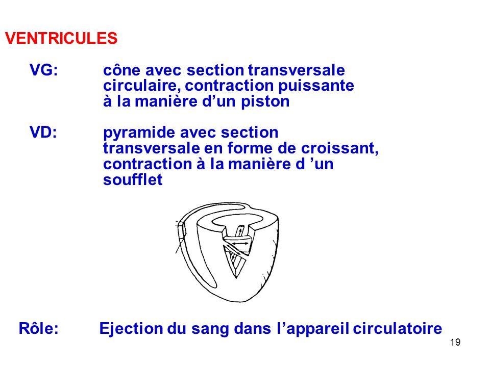 VENTRICULES VG: cône avec section transversale. circulaire, contraction puissante. à la manière d'un piston.