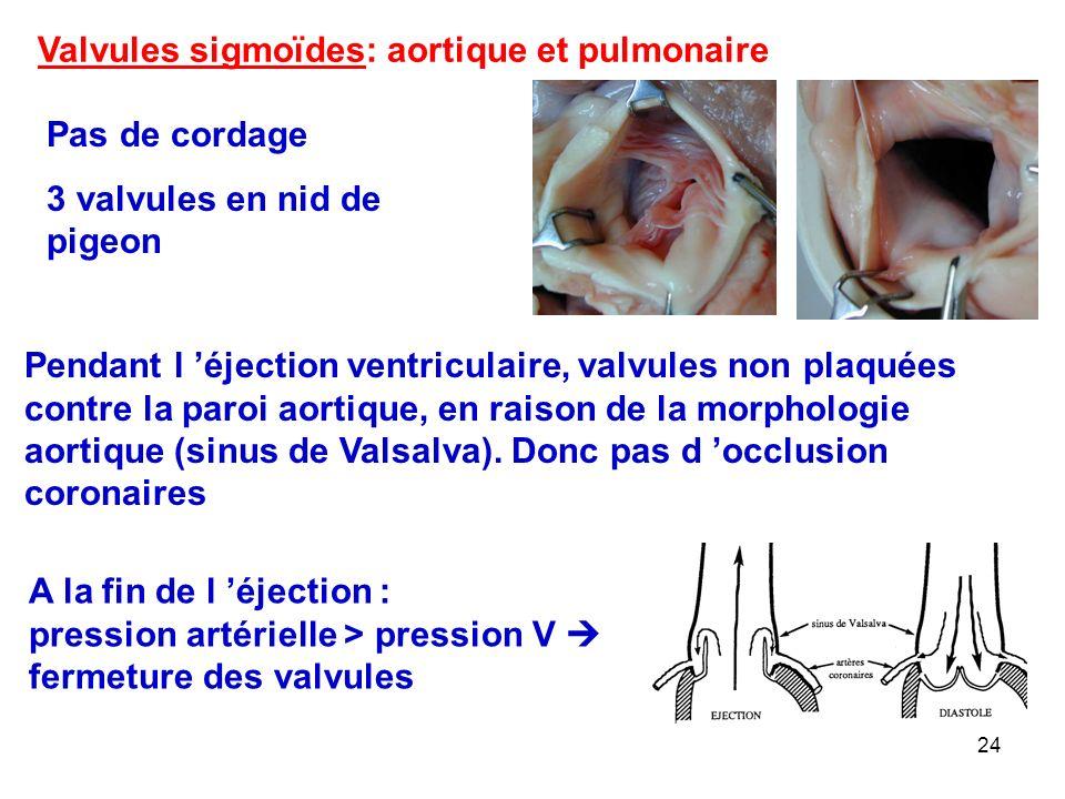 Valvules sigmoïdes: aortique et pulmonaire