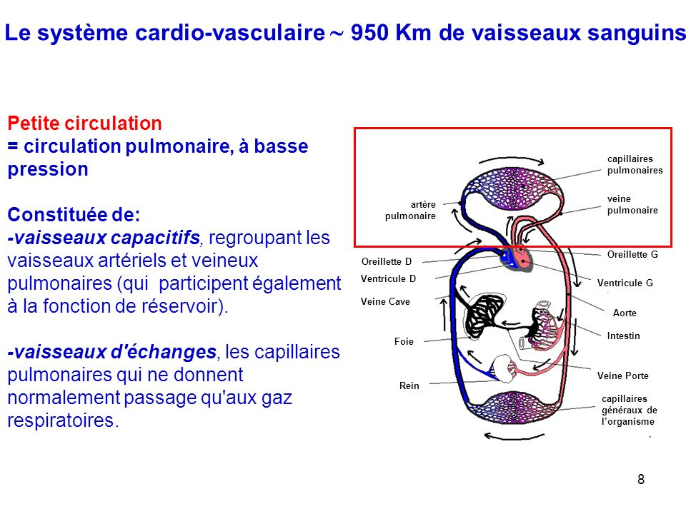 Le système cardio-vasculaire  950 Km de vaisseaux sanguins