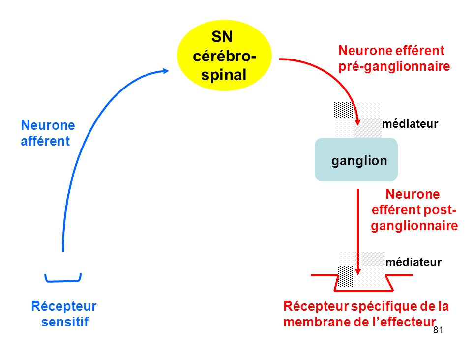 SN cérébro- spinal Neurone efférent pré-ganglionnaire Neurone afférent