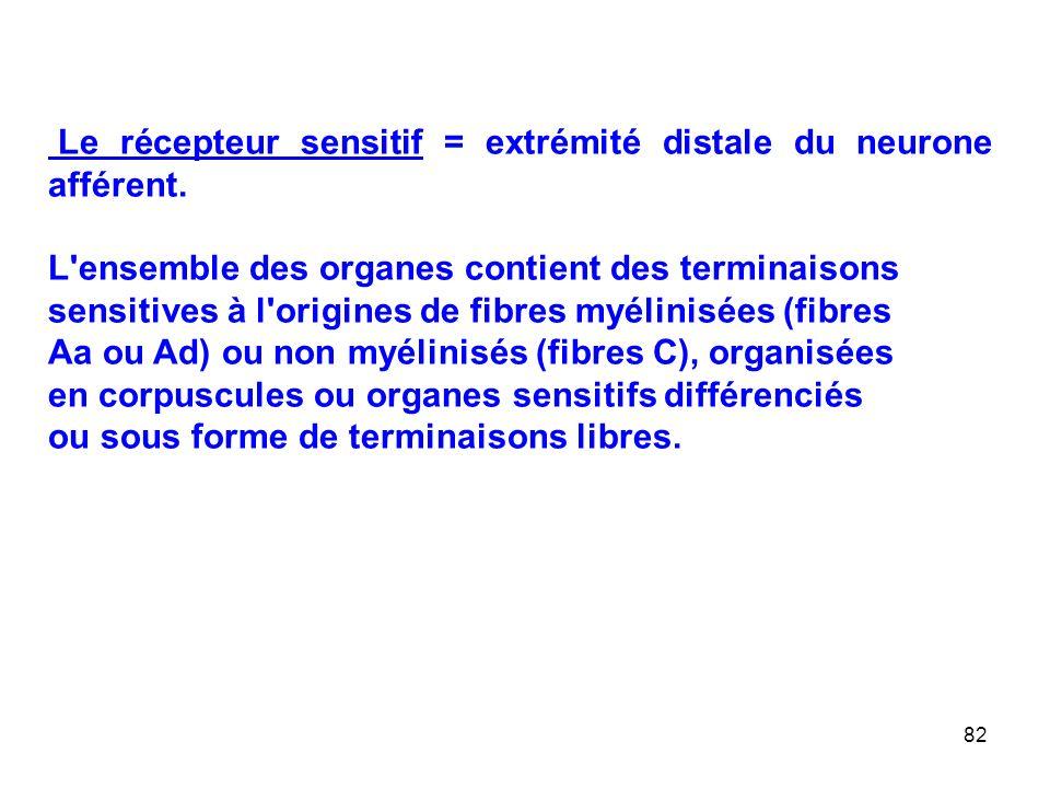 Le récepteur sensitif = extrémité distale du neurone afférent.