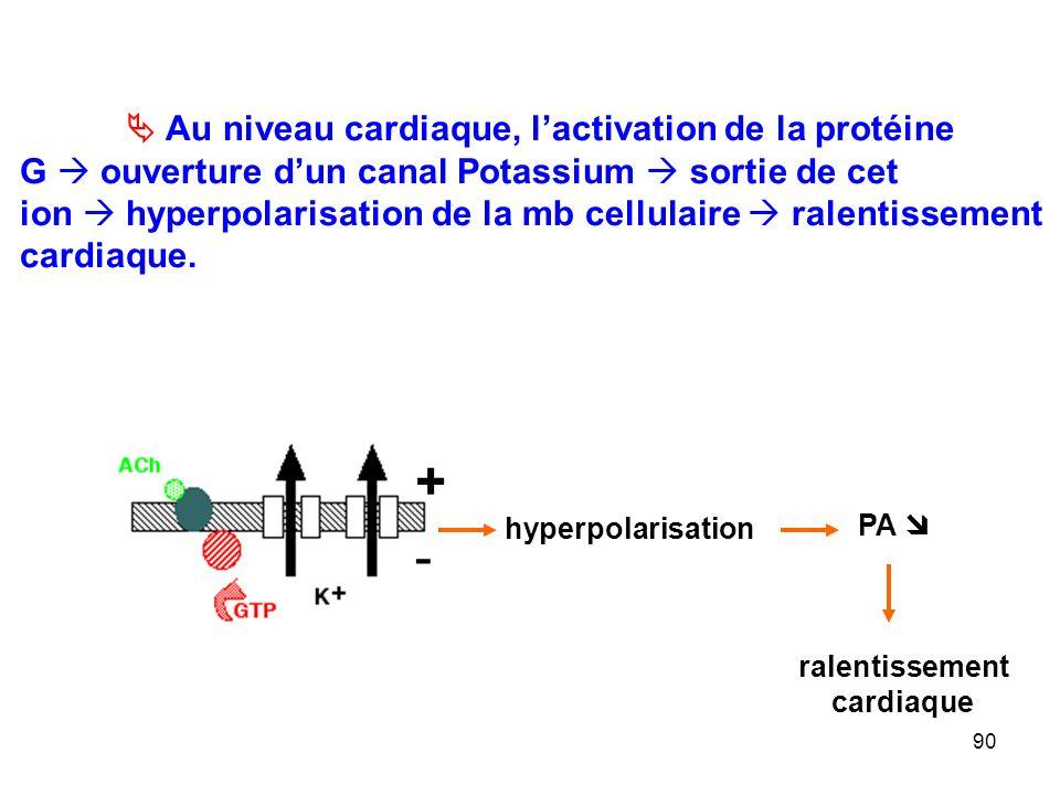 + -  Au niveau cardiaque, l'activation de la protéine