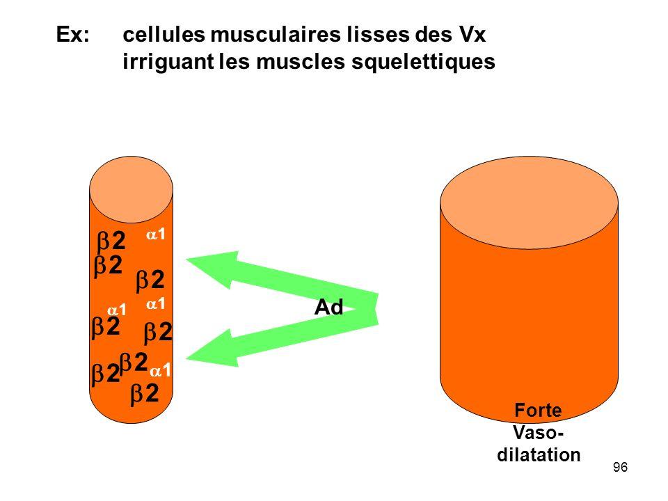 b2 b2 b2 b2 b2 b2 b2 b2 Ex: cellules musculaires lisses des Vx