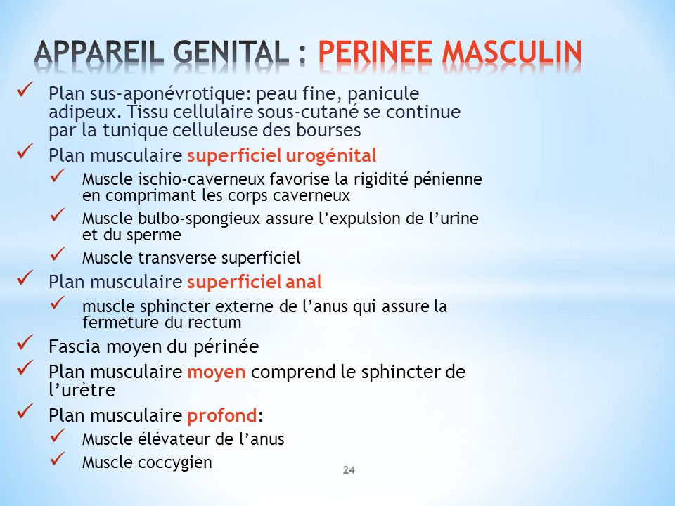 APPAREIL GENITAL : PERINEE MASCULIN