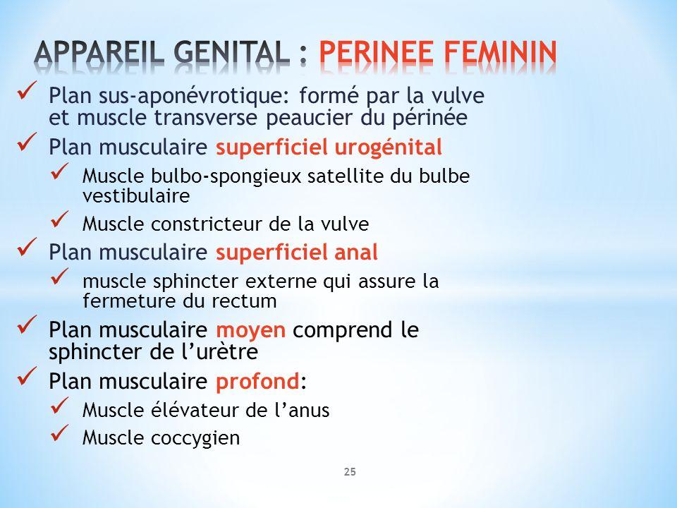 APPAREIL GENITAL : PERINEE FEMININ