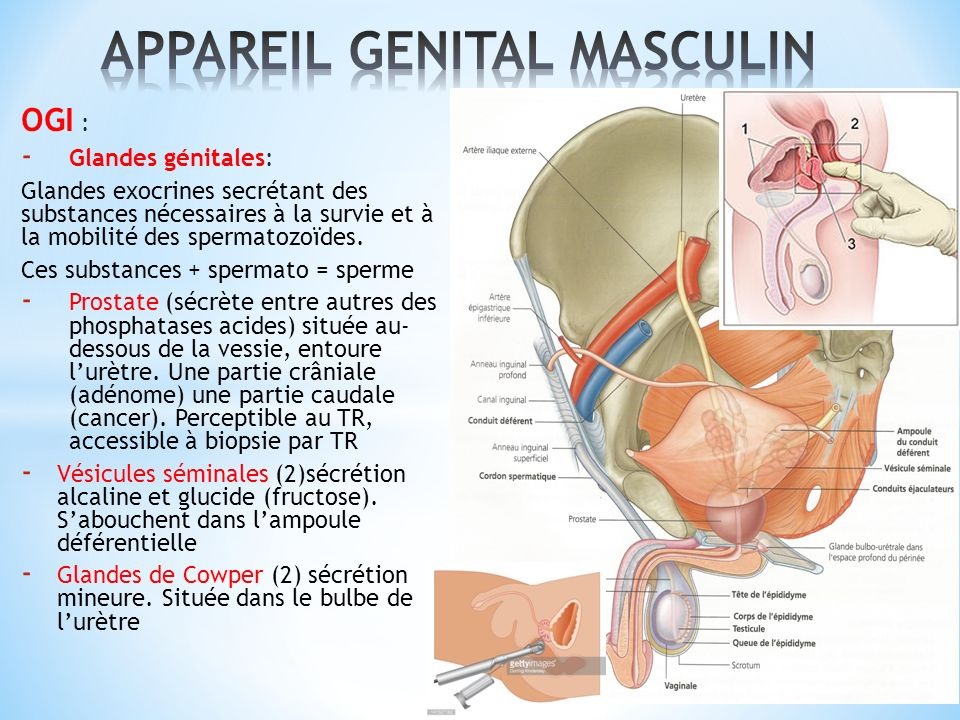 APPAREIL GENITAL MASCULIN