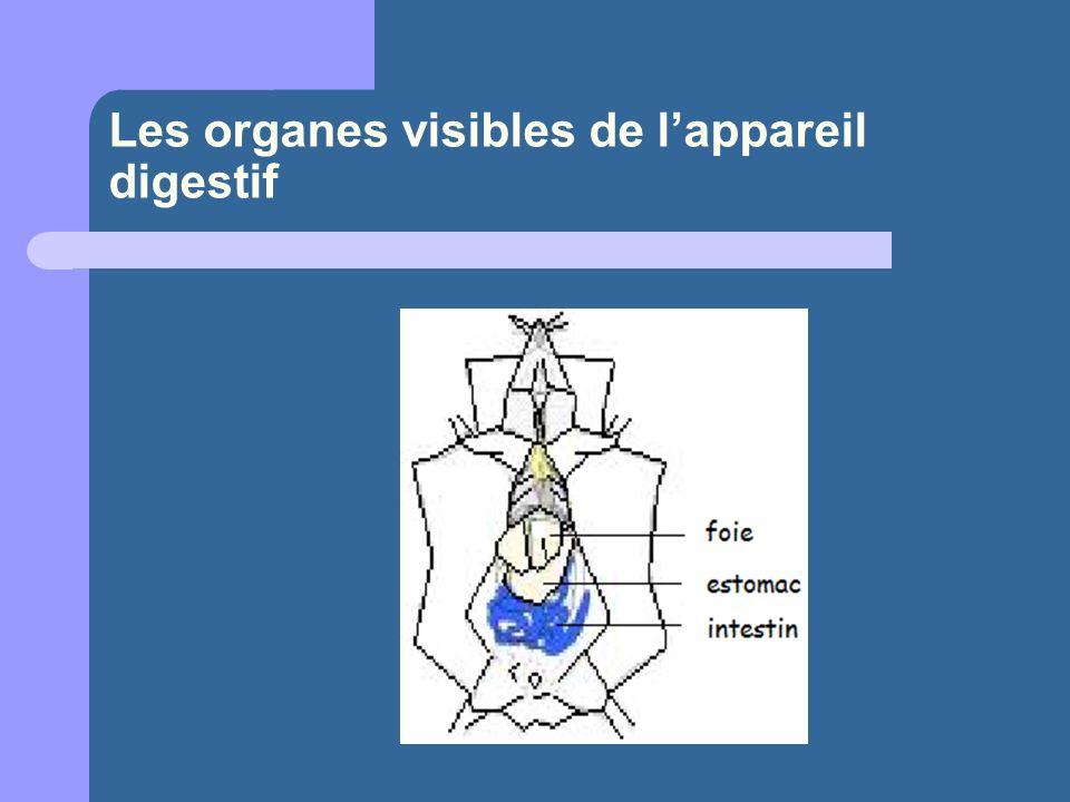 Les organes visibles de l'appareil digestif