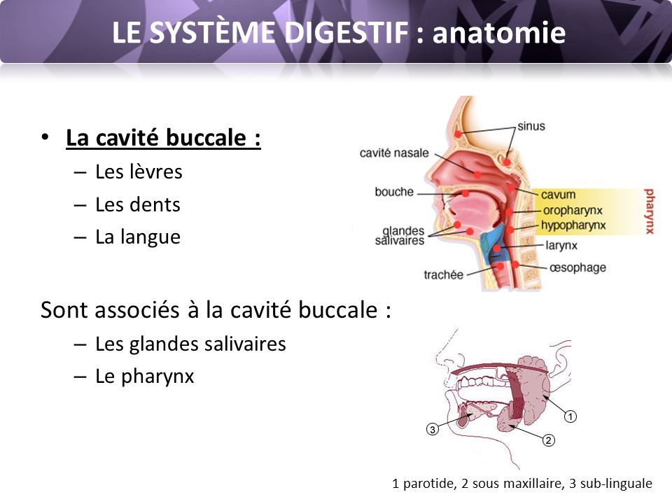 LE SYSTÈME DIGESTIF : anatomie