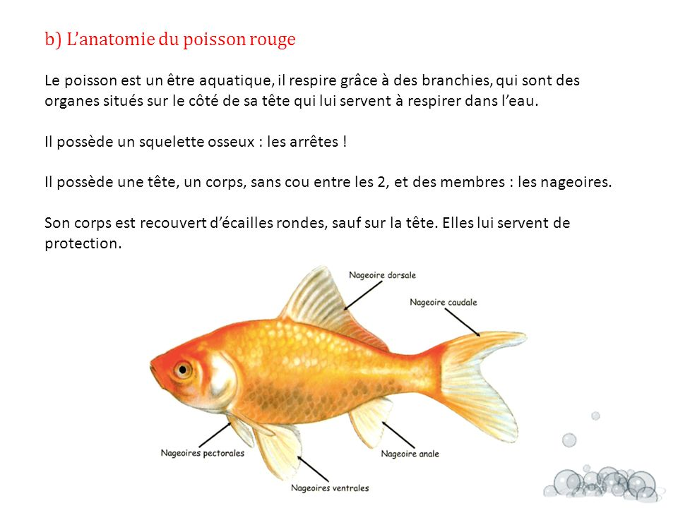 Les poissons rouges ppt t l charger for L alimentation du poisson rouge