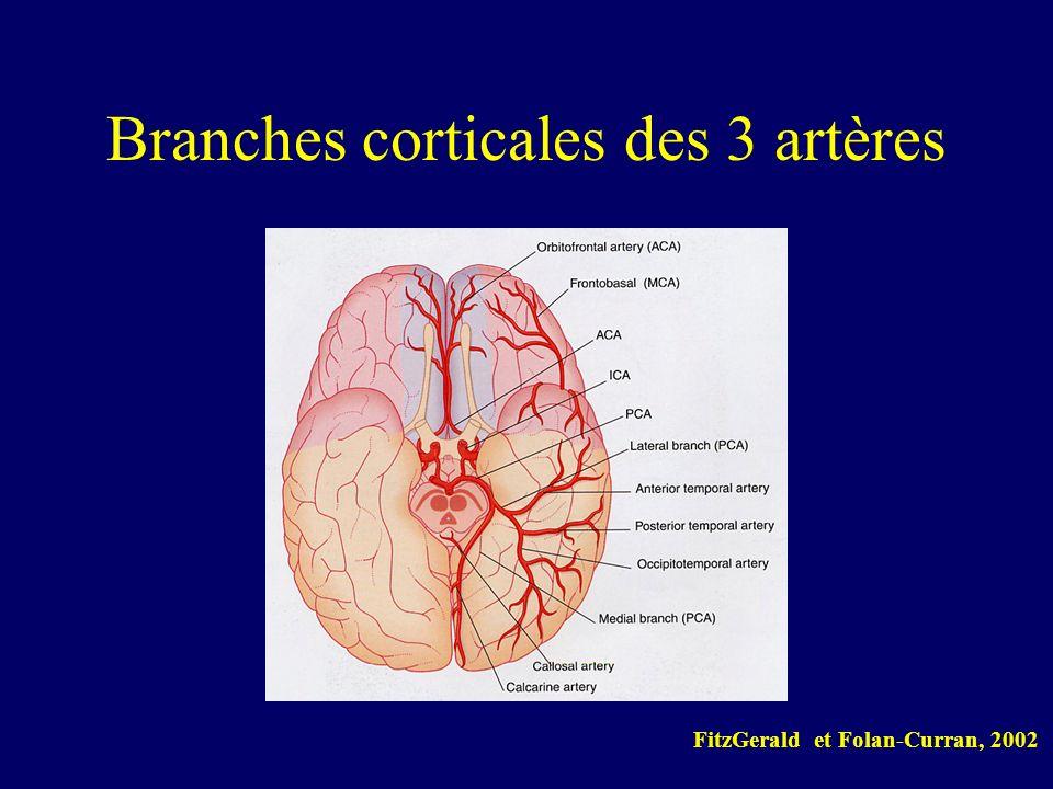 Branches corticales des 3 artères