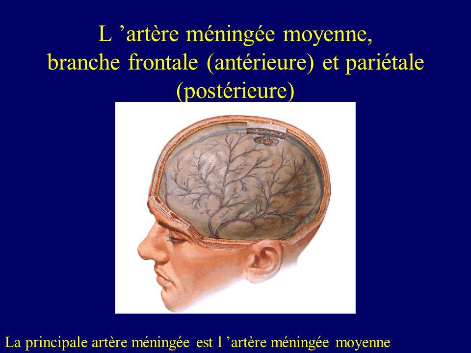 L 'artère méningée moyenne, branche frontale (antérieure) et pariétale (postérieure)