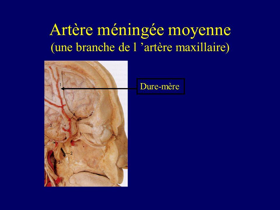 Artère méningée moyenne (une branche de l 'artère maxillaire)