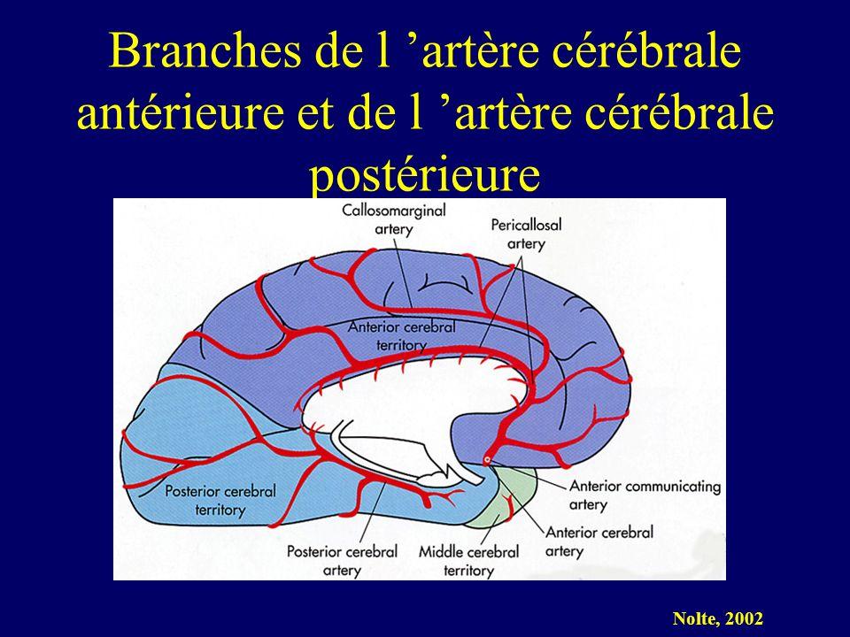 Branches de l 'artère cérébrale antérieure et de l 'artère cérébrale postérieure