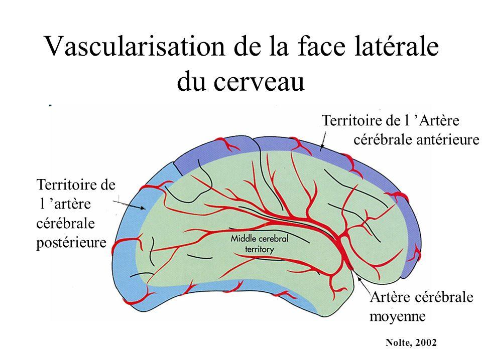 Vascularisation de la face latérale du cerveau