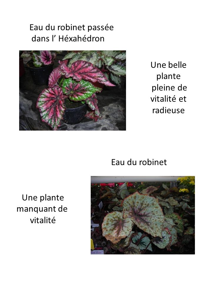 Eau du robinet passéedans l' Héxahédron. Une belle plante. pleine de. vitalité et radieuse. Eau du robinet.