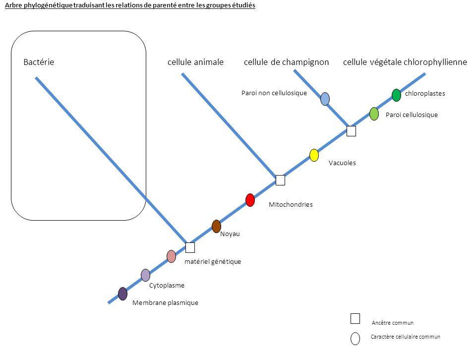 Arbre phylogénétique traduisant les relations de parenté entre les groupes étudiés