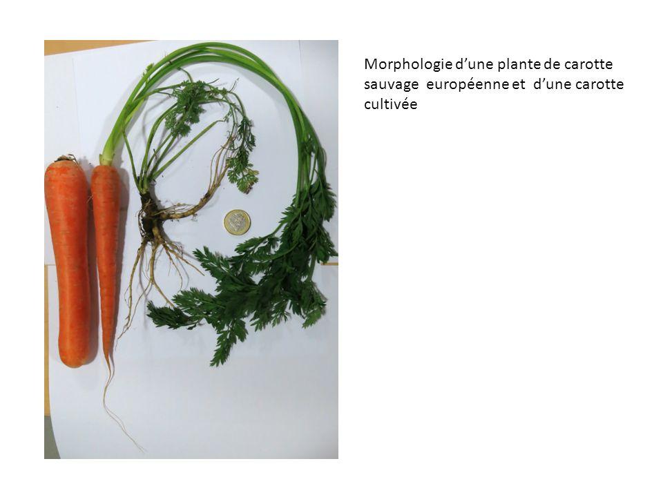Morphologie d'une plante de carotte