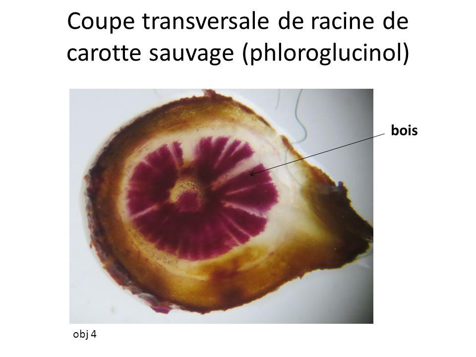 Coupe transversale de racine de carotte sauvage (phloroglucinol)