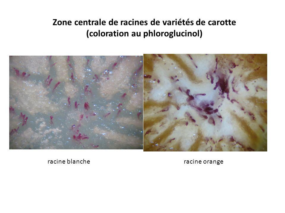 Zone centrale de racines de variétés de carotte
