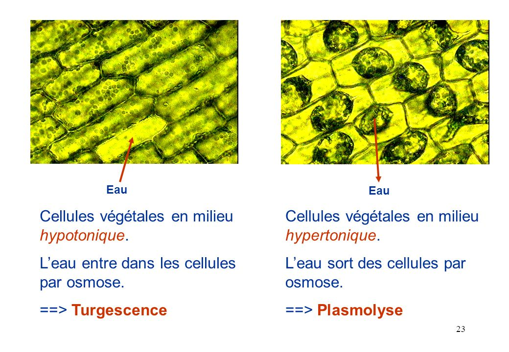 Cellules végétales en milieu hypotonique.