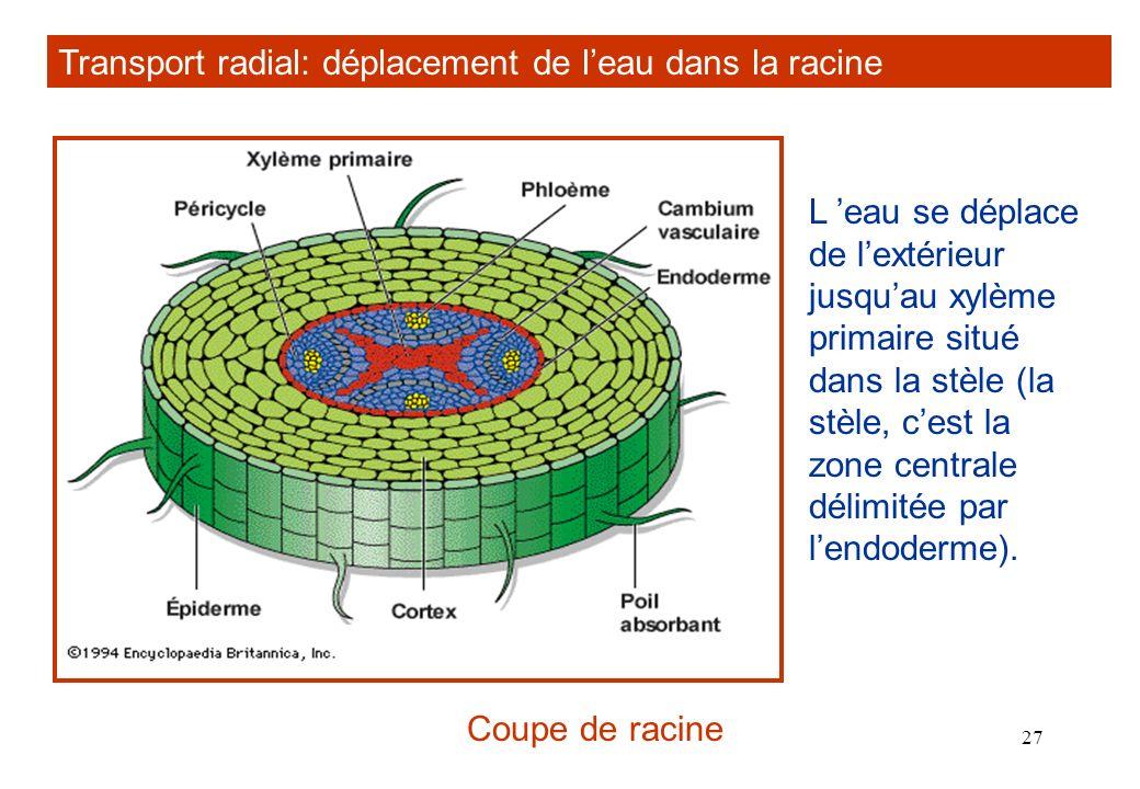 Transport radial: déplacement de l'eau dans la racine