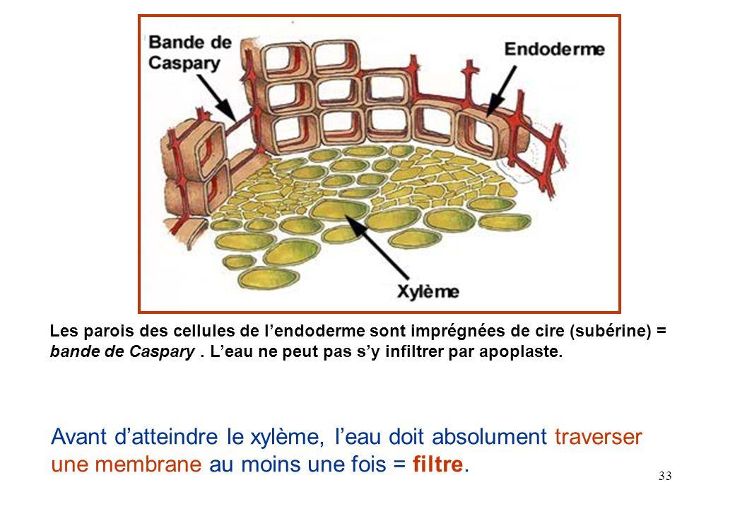 Les parois des cellules de l'endoderme sont imprégnées de cire (subérine) = bande de Caspary . L'eau ne peut pas s'y infiltrer par apoplaste.