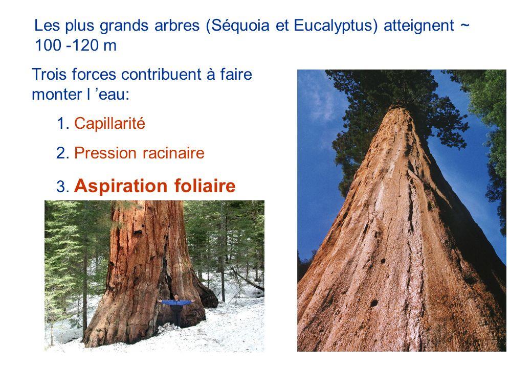 Les plus grands arbres (Séquoia et Eucalyptus) atteignent ~ 100 -120 m