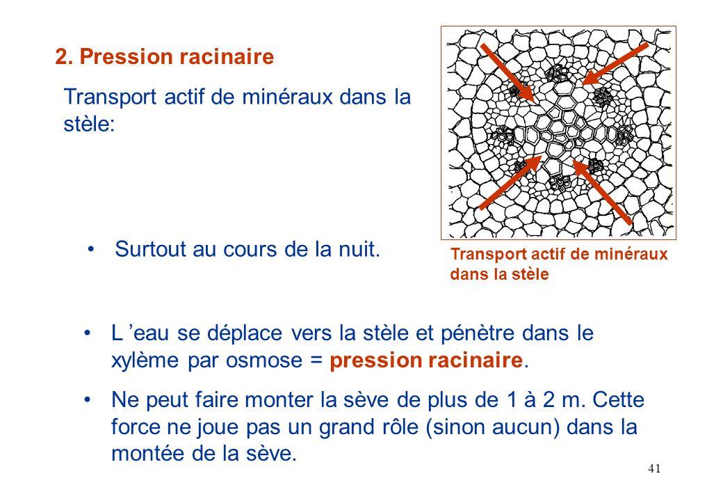 Transport actif de minéraux dans la stèle: