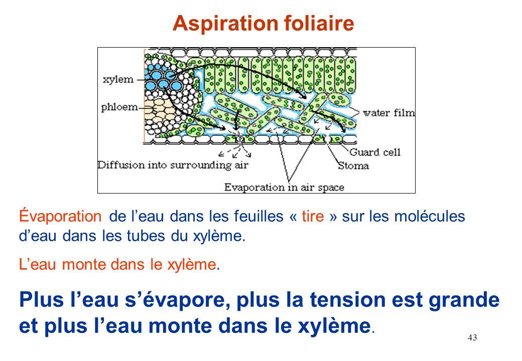 Aspiration foliaire Évaporation de l'eau dans les feuilles « tire » sur les molécules d'eau dans les tubes du xylème.