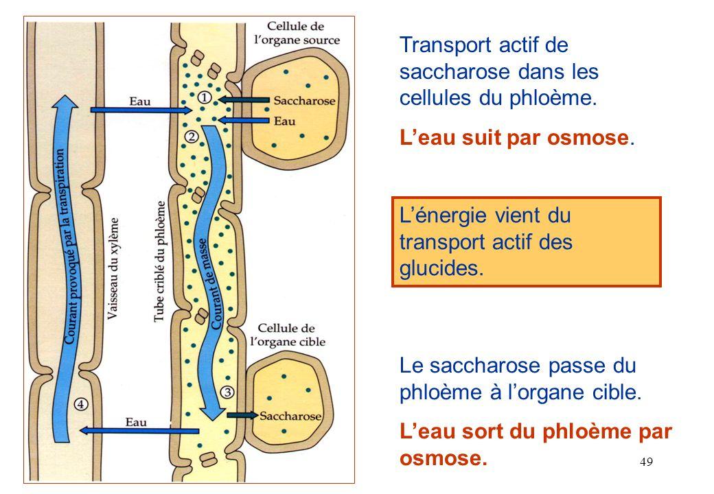 Transport actif de saccharose dans les cellules du phloème.