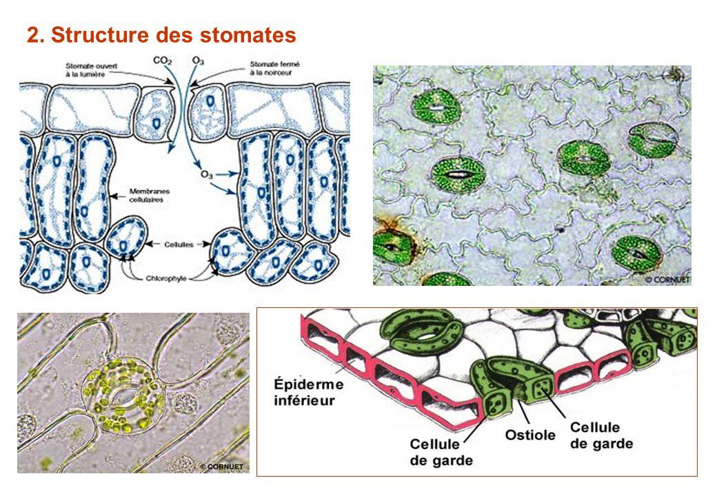 2. Structure des stomates