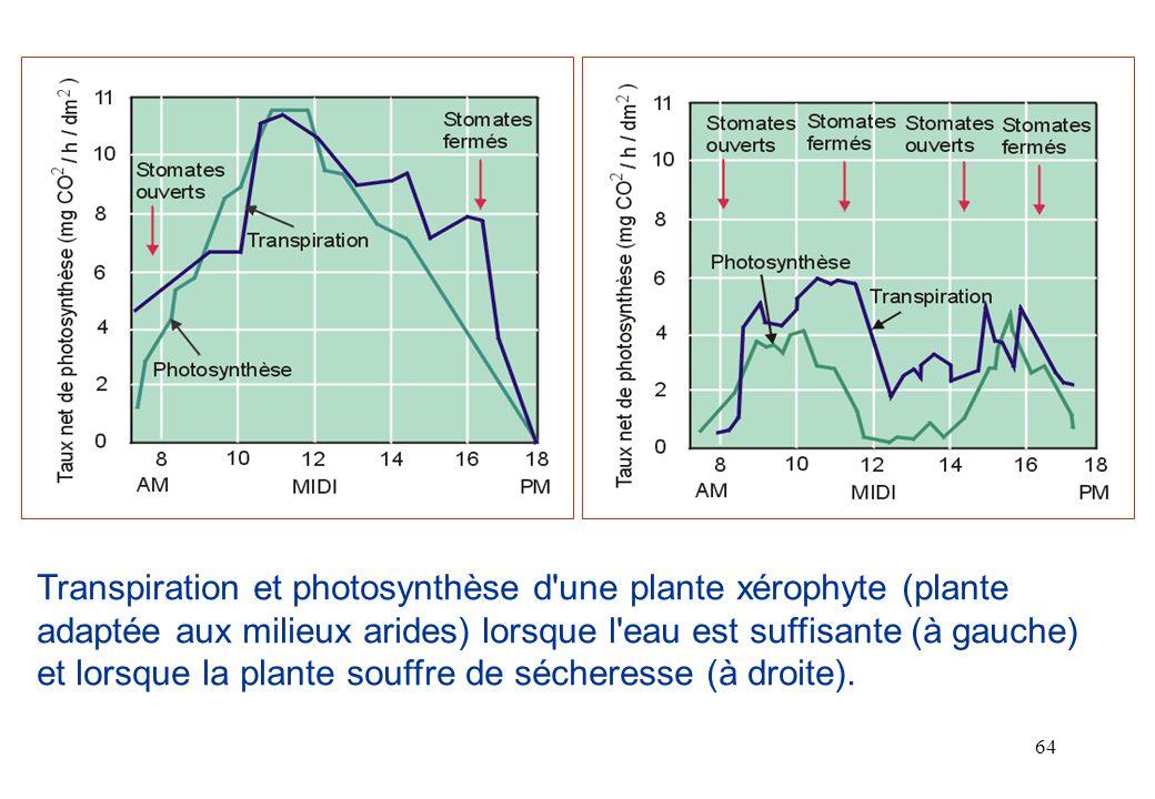 Transpiration et photosynthèse d une plante xérophyte (plante adaptée aux milieux arides) lorsque l eau est suffisante (à gauche) et lorsque la plante souffre de sécheresse (à droite).