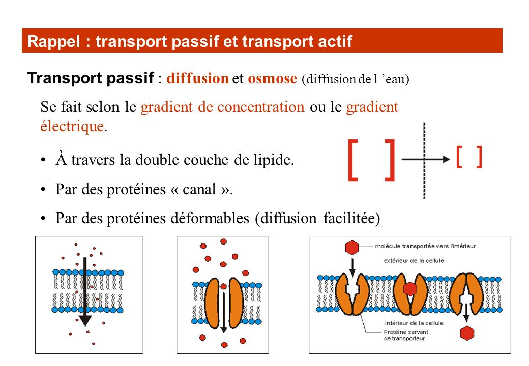 Rappel : transport passif et transport actif