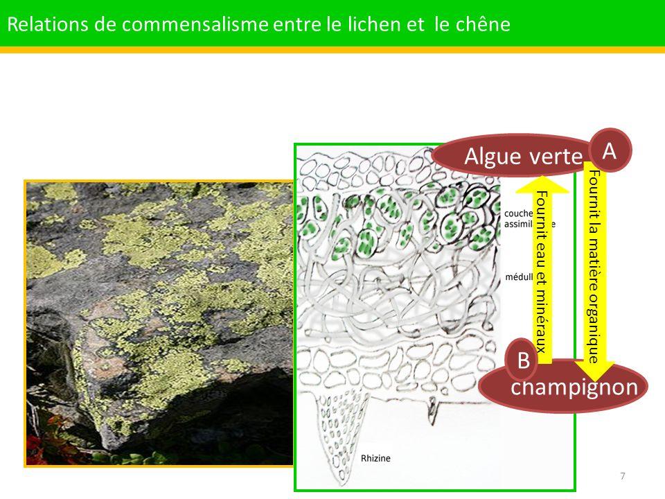 A Algue verte B champignon