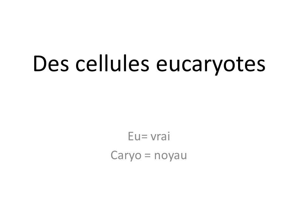 Des cellules eucaryotes