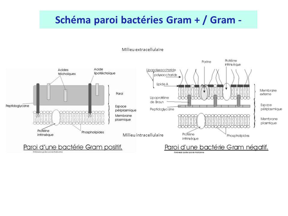 Schéma paroi bactéries Gram + / Gram -