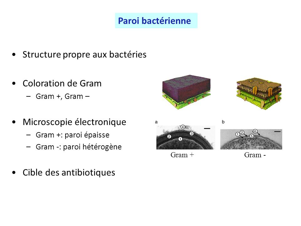 Structure propre aux bactéries Coloration de Gram