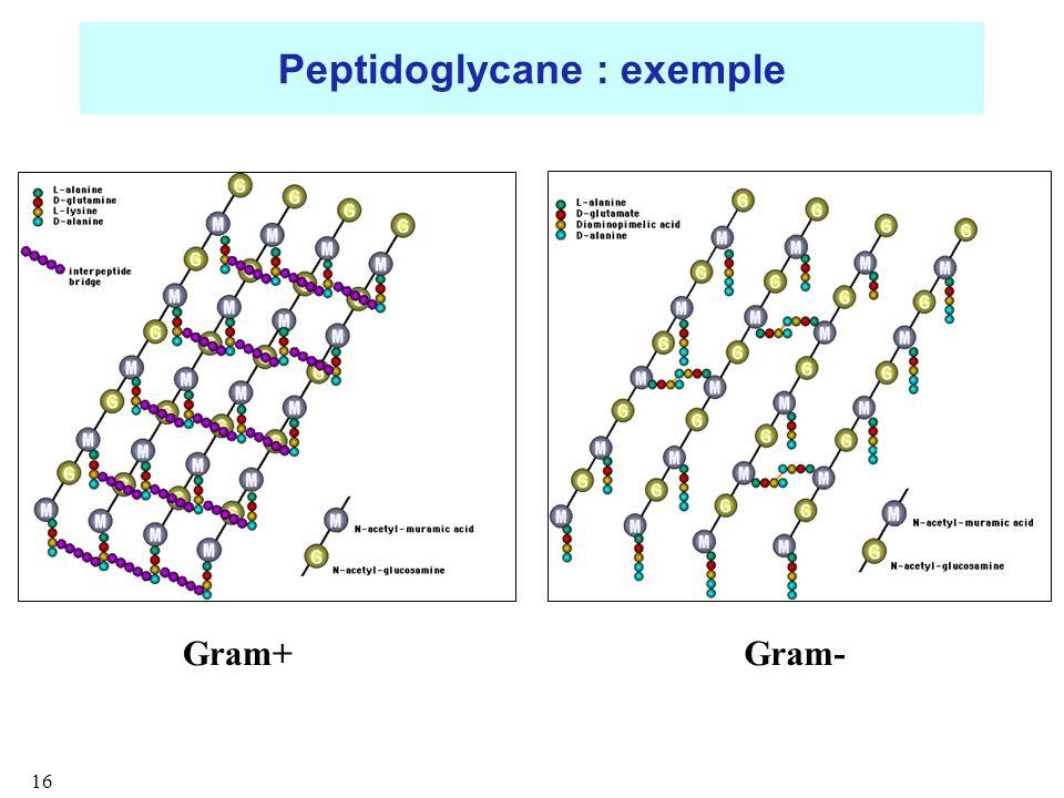Peptidoglycane : exemple