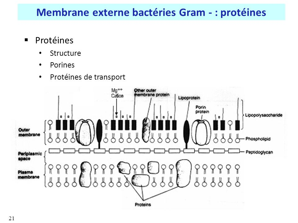 Membrane externe bactéries Gram - : protéines