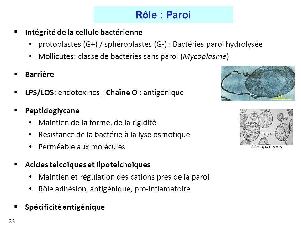 Rôle : Paroi Intégrité de la cellule bactérienne