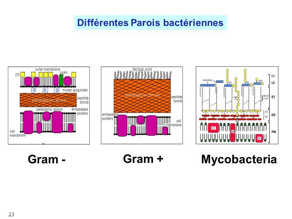 Différentes Parois bactériennes