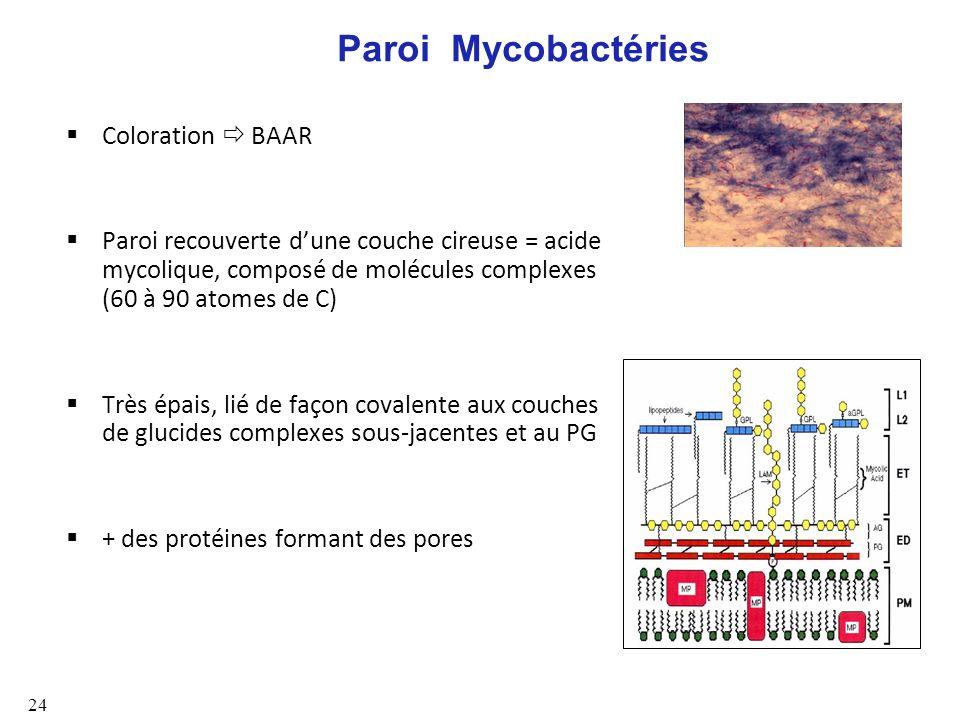 Paroi Mycobactéries Coloration  BAAR