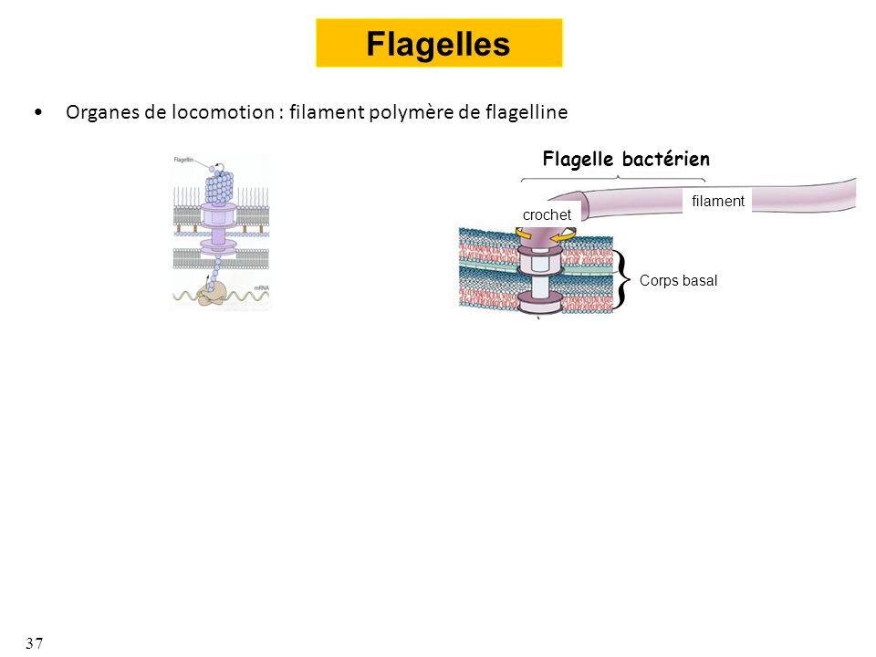} Flagelles Organes de locomotion : filament polymère de flagelline