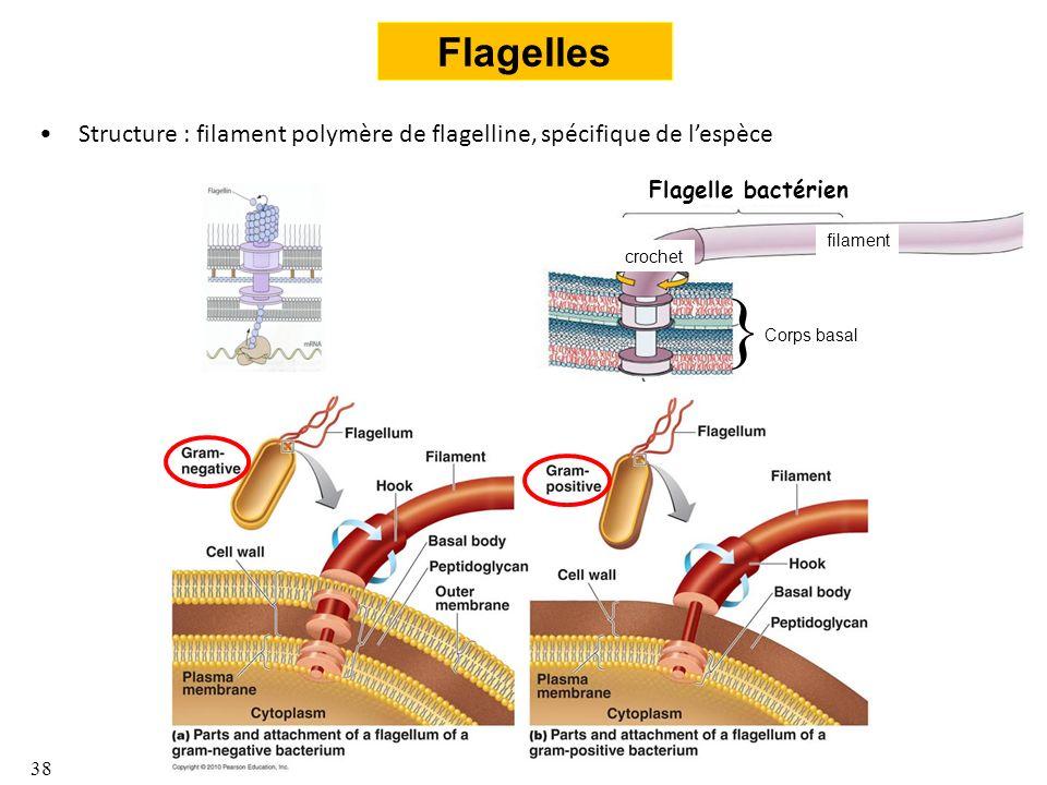 Flagelles Structure : filament polymère de flagelline, spécifique de l'espèce. Flagelle bactérien.