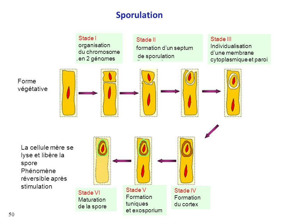 Sporulation Forme végétative