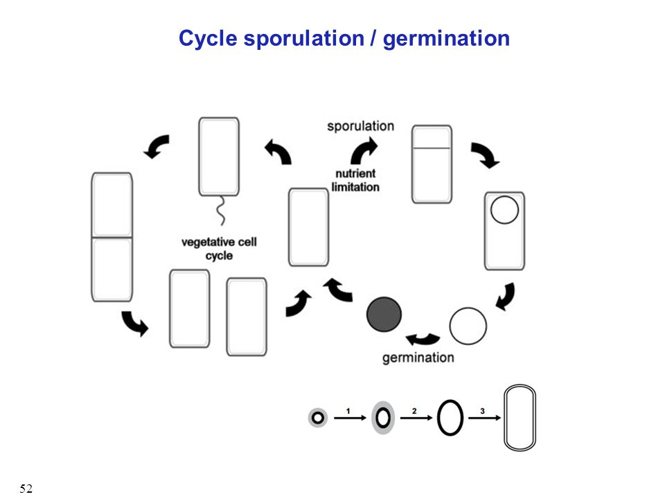 Cycle sporulation / germination