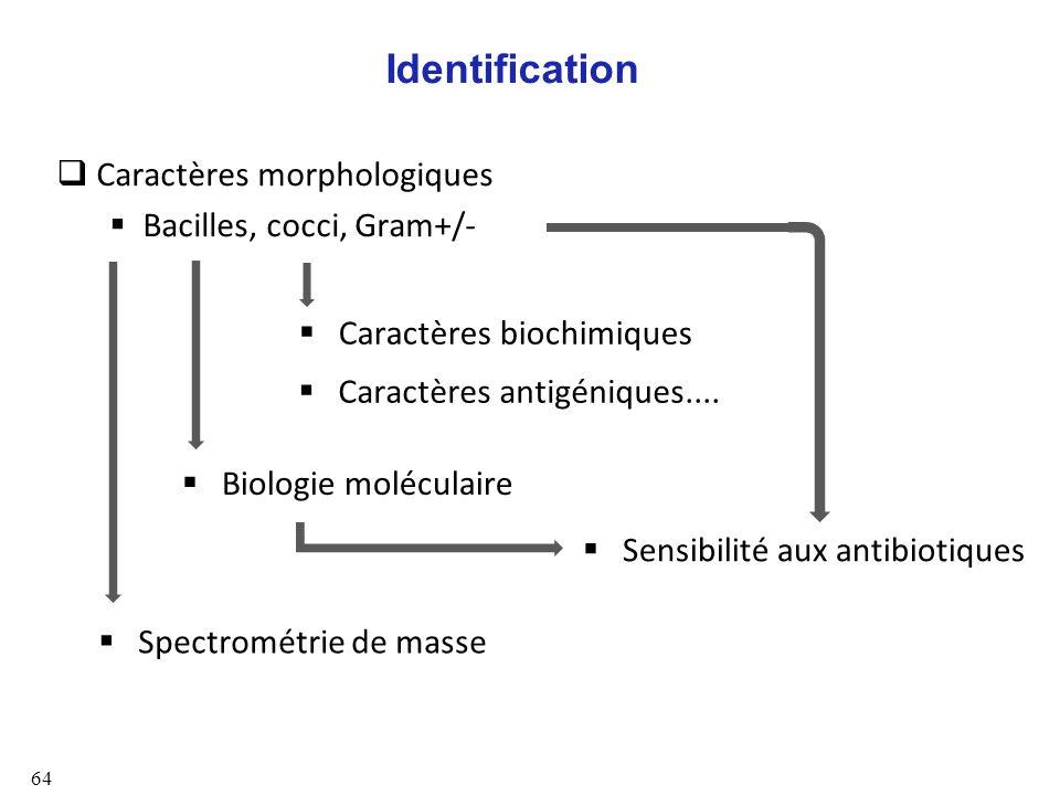 Identification Caractères morphologiques Bacilles, cocci, Gram+/-