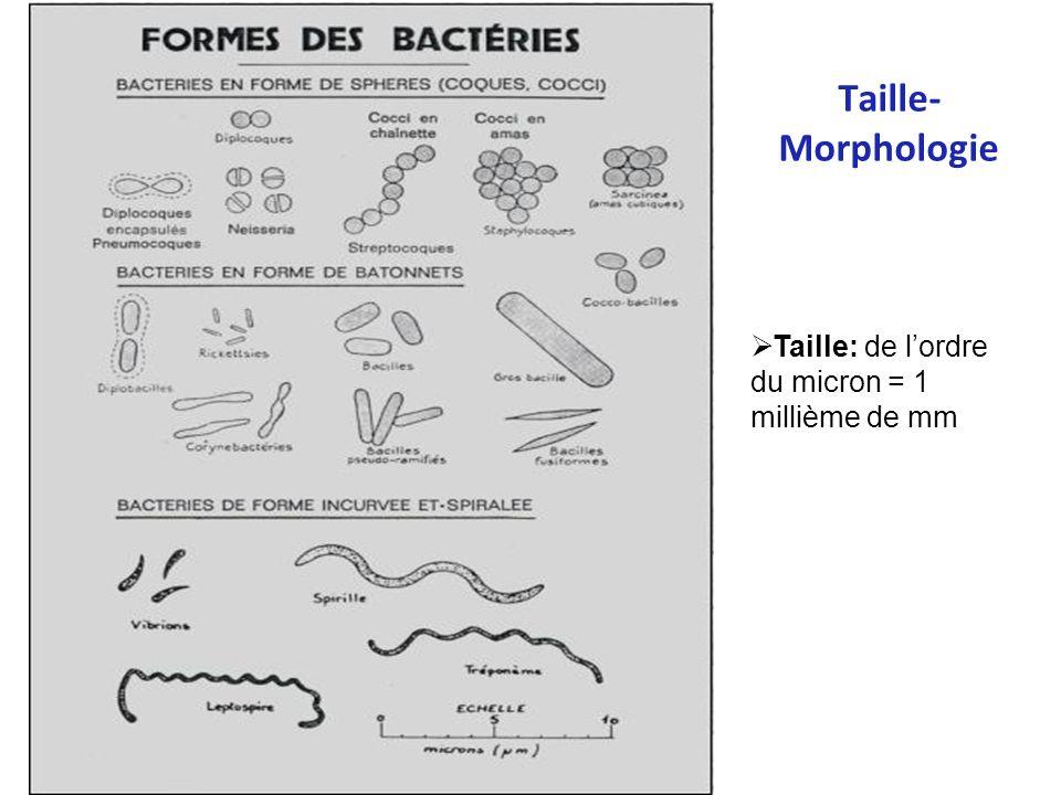 Taille- Morphologie Coques Bacilles Formes diverses