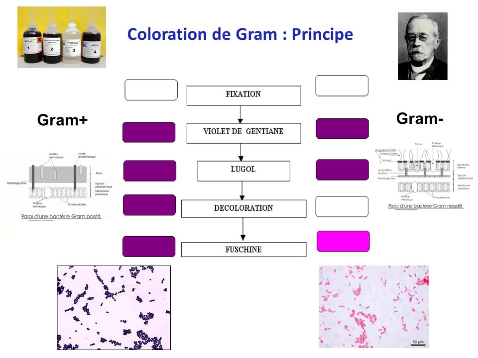 Coloration de Gram : Principe
